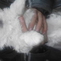 Maltese Male Puppies x 2