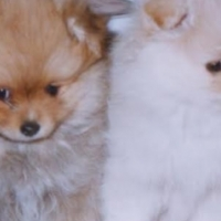 Super Cute Pomeranian Puppies For Ready!!
