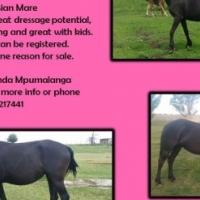 5yo Friesian mare for sale