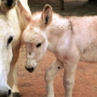 Stunning White Donkey Jenny and her light Sorrel Foal