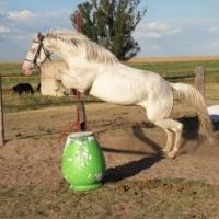 Very pretty Cremello gelding for sale!!
