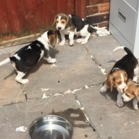 Stunning Beagle Puppies Available