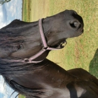 Horse for sale- 5yo Friesian Mare