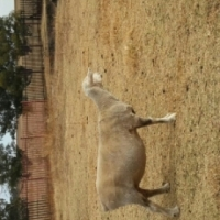 12 Sheeps for sale