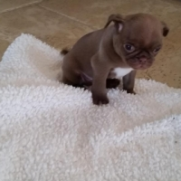 Pug puppies. male & female available