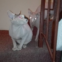Sphinx/Canadian hairless feline