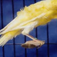 Canaries Dutch Frill's