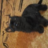Scottish terier