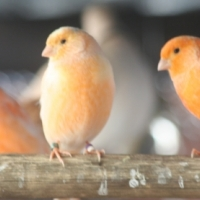Red factor canary pair
