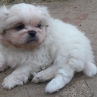 pekinese puppy for Sale