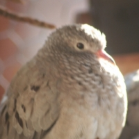 Passerina ground doves