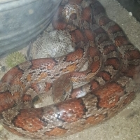 Beautiful American Corn Snake with cage