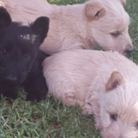 Beautiful Scottish Terriers for sale