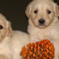 Female Golden Retriever Puppies