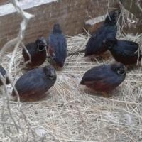 Red breast quails