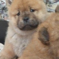 Chinese Chow Chow puppies