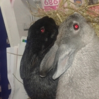 2 Female Bunnies Needing an Immediate New Home