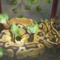 pastel ball phython