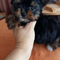 Very Small Yorkies Available