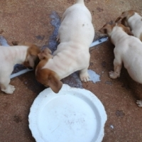 8 weeks old purebred shortleg jack Russell pups ready for new homes 4 males