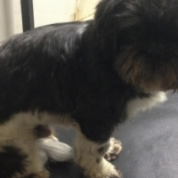 Shih Tzu male & female puppies