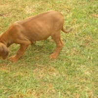 Rhodesian Ridgeback Puppies  Parents KUSA Registered