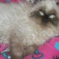registerd persian kittens