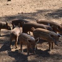 English wild boars