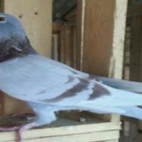 Racing Pigeons for sale Vliegduiwe te koop