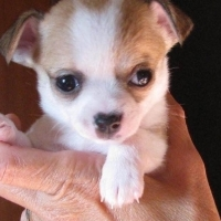 4 beautiful chihuahuas ready for rehoming