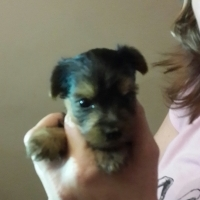 Minature Yorkies for sale