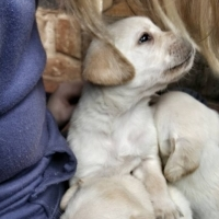 Beautiful pedigree White/Beige Labrador puppies for sale