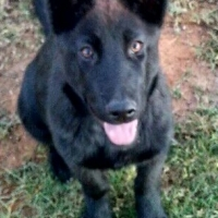 Large Breed Puppy - 5 Months, Female, FOR SALE URGENT