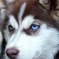 Stunning Blue and Hazel eyed Siberian Husky