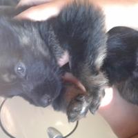 Black / Brown German Shephard Puppies for sale