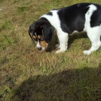 Beagle puppies are now available