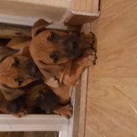Mastaff pups urgently needs to be sold
