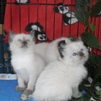 Siamese rag doll seal kittens