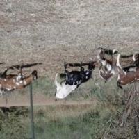 Umbuzi Goats for Sale