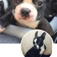 Beautiful Boston Terrier Puppies