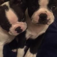 Beautiful Boston Terrier Puppies!!!