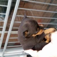 Min pincherbokkie hondjies