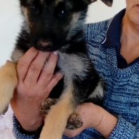 I have 1 german sherpherd  puppies 1 female and is looking for a good nuwe home.