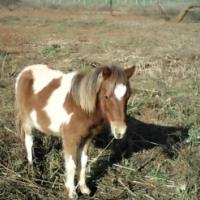 regst miniature horse