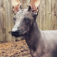 hairless khala dog