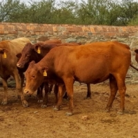 tuli cattle for sale