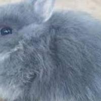 Miniature Dwarf Angora / Jersey Wooly Rabbit babies for sale