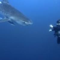 PREMIER SHARK/LEISURE DIVE OPERATOR KZN (NO CAGE)