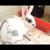 Rabbits (Potty trained)