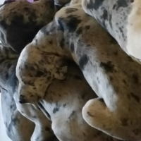 Great Dane puppies 11 weeks old